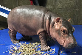 This is a 2 hour old baby hippo..