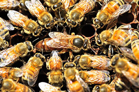 Why male honeybees try to blind their queens